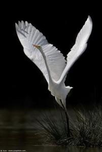 Biały żuraw Analiza klasyk